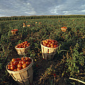Baskets Of Fresh Tomatoes In A Field by Michael Melford