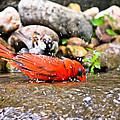 Bathing Cardinal by Erik Clark
