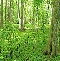 Baton Rouge Blueonnet Swamp  La by Lizi Beard-Ward