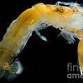 Bay Ghost Shrimp by Dant� Fenolio