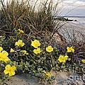 Beach Evening Primrose On Folly Beach - D001782 by Daniel Dempster