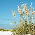 Beach Grass by Carol Vanselow