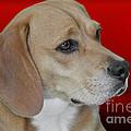 Beagle - A Hound's Hound by Christine Till