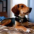 Beagle Mix Puppy by Amie Fedora Photography