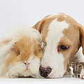 Beagle Pup And Alpaca Guinea Pig by Mark Taylor