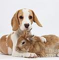 Beagle Pup And Rabbit by Mark Taylor
