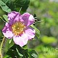 Beaming Wild Rose by Jim Sauchyn
