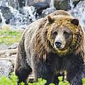 Bear On The Prowl. by Jon Berghoff