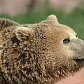 Bear Profile by Living Color Photography Lorraine Lynch