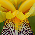 Bearded Iris by Mark J Seefeldt