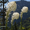 Beargrass Squaw Grass - 4 by Paul Cannon