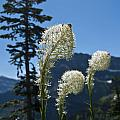 Beargrass Squaw Grass 2 by Paul Cannon