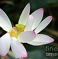 Beatutiful Wet Lotus by Sabrina L Ryan