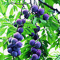 Beautiful Blue Plums On The Tree by Jeelan Clark