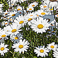 Beautiful Daisies by Alice Gipson
