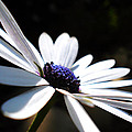Beautiful Daisy by Sumit Mehndiratta