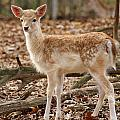Beautiful Fawn by Jean Haynes