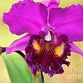 Beautiful Hot Pink Orchid by Sabrina L Ryan