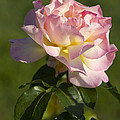 Beautiful Pink And Yellow Climbing Peace Rose by Kathy Clark