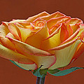 Beautiful Rosa by Juergen Roth