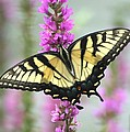 Beautiful Swallowtail by Living Color Photography Lorraine Lynch