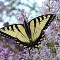 Beautiful Swallowtail by Stephanie Kripa