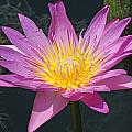 Beautiful Water Lily by Becky Lodes