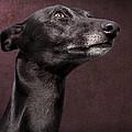 Beautiful Whippet Dog by Ethiriel  Photography