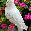 Beautiful White Pigeon by Mariola Bitner