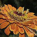 Beauty In Orange Petals by Deborah Benoit