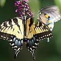 Beauty Of Butterflies  by Victoria  Kurlinski