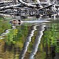 Beaver by Glenn Gordon