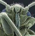 Bedbug Head, Sem by Steve Gschmeissner