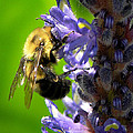 Bee All You Can Bee by John Kiss