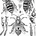 Bee Anatomy Historical Illustration by SPL and Photo Researchers