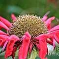 Bee Balm Button by Susan Herber