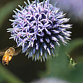 Bee In Flight by Janet Mcconnell