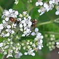 Bee Of The White Flower by Teresa Blanton