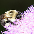 Bee On Flower by Paul Ward