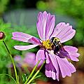 Bee On Flower by Susan Leggett