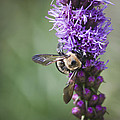 Bee On Gayfeather Squared 2 by Teresa Mucha