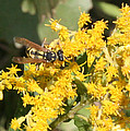 Bee On Goldenrod by Kathy Peltomaa Lewis