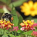 Bee On Lantana Flower by Luana K Perez