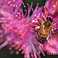 Bee On Lollypop Blossom by Kaye Menner