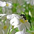 Bee On Primrose by Kaye Menner