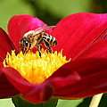 Bee On Red Dahlia by Emanuel Tanjala