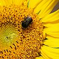 Bee On Sunflower by Steev Stamford
