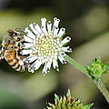 Bee On White Clover by Jodi Terracina