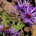Bee On Wild Astor by Kathy Peltomaa Lewis