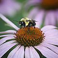 Bee Resting Squared by Teresa Mucha